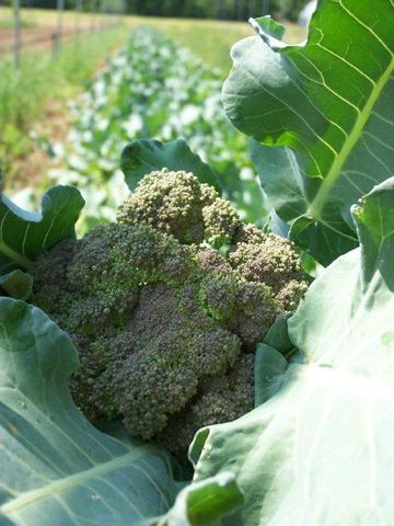 Broccoli.jpg